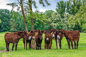 Herd of Poitou donkeys in meadow behind a fence. Normandy, France.  -  Klein & Hubert