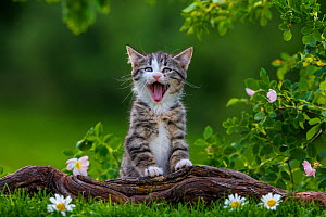 Tabby and white kitten, 2 months, yawning near Dog rose bush, France. - Klein & Hubert