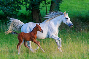Purebred Arabian horse, grey mare and her 3-weeks bay foal cantering through field, France.  -  Klein & Hubert
