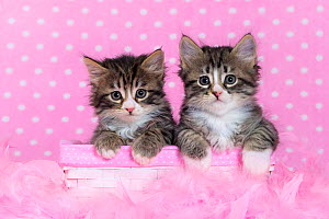 Two tabby and white kittens, age six weeks, in pink feathers with polka dot background. - Klein & Hubert