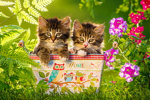 Two tabby and white kittens, age 6 weeks, in tin box, next to ferns and garden verbena.  -  Klein & Hubert