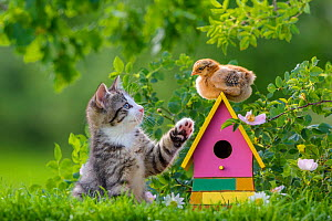 Tabby and white kitten age two months, interacting with a domestic hen chick perched on a birdhouse in garden - Klein & Hubert