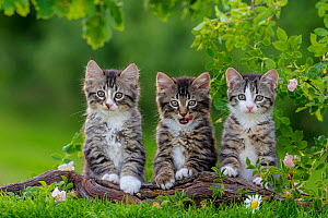 Three tabby and white kittens, age two months, standing on root in garden.  -  Klein & Hubert