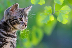 Tabby kitten, 8 weeks, in garden portrait, France. - Klein & Hubert
