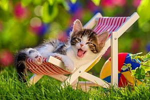 Tabby and white kitten age five weeks, yawning in folding chair, in garden in summer.  -  Klein & Hubert