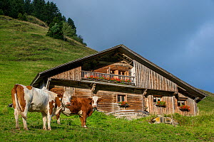Abondance cows near chalet-style wooden farmhouse in alpine meadow, French Alps, France.  -  Klein & Hubert