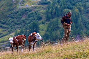 Herdsman on phone (trying to get connection) in the Alps with Valdostana calves, Italy.  -  Klein & Hubert