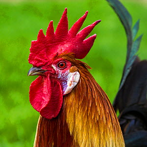 Portrait of Gaulois dore rooster, France.  -  Klein & Hubert