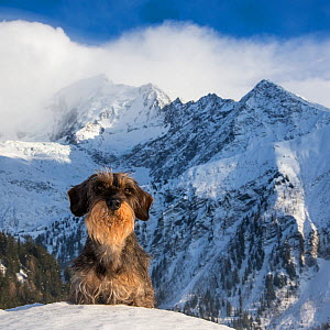 Dachshund sitting in snow with Mont Blanc massif (French Alps) in background. Haute-Savoie, France. - Klein & Hubert