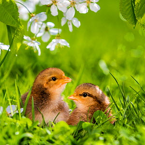 Two domestic hen chicks in grass and cherry blossoms in spring France. - Klein & Hubert