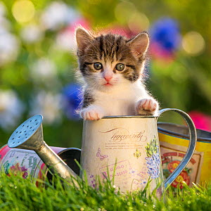Tabby and white kitten, 4 weeks, in small watering can, France. - Klein & Hubert