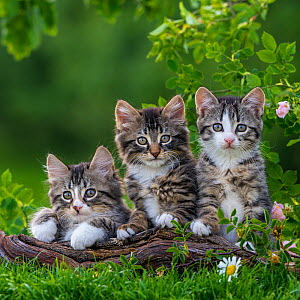 Three tabby and white kittens, 2 months, on a root, France. - Klein & Hubert