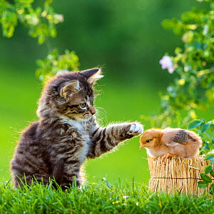 Tabby kitten, 2 months, gently touching domestic hen chick with paw, France. - Klein & Hubert