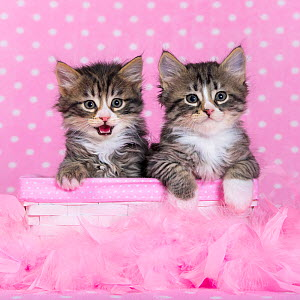 Two tabby and white kittens, age six weeks, in basket with pink feathers and polka dot spots behind. - Klein & Hubert