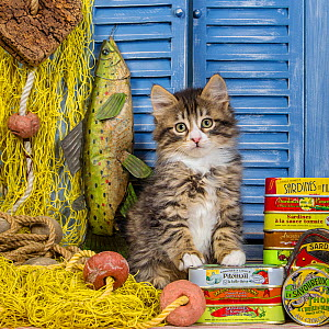 Tabby and white kitten age two months, on sardine boxes with fishing net. - Klein & Hubert