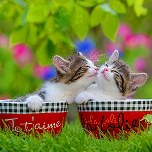 Tabby and white kittens, age five weeks, in bowls licking each other, France. - Klein & Hubert