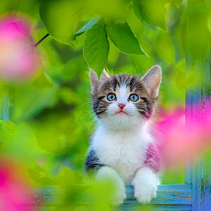 Tabby and white kitten age six weeks in old window frame with flowers, France. - Klein & Hubert
