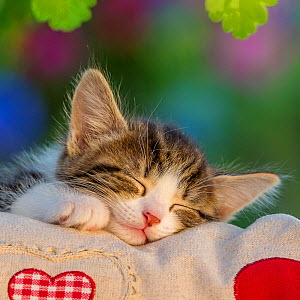 Tabby and white kitten, age six weeks, sleeping on a pillow with hearts, in a garden, France.  -  Klein & Hubert