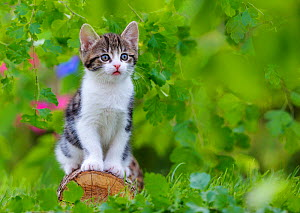 Tabby and white kitten, age six weeks, sitting on a log, France. - Klein & Hubert