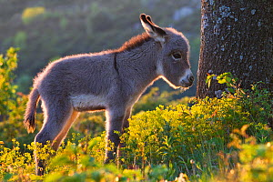 Sardinian donkey foal at sunset, France. - Klein & Hubert