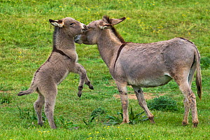 Cotentin donkey foal playing with his mother, France. - Klein & Hubert