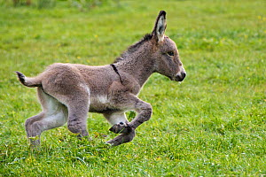 Cotentin donkey foal running, France.  -  Klein & Hubert