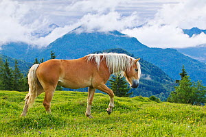 Young Haflinger stallion in alpine meadow, Austria.  -  Klein & Hubert
