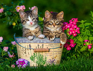 Two tabby and white kittens, age two months, in tin pot with verbena flowers.  -  Klein & Hubert