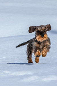 Wirehaired Dachshund running on snow, Haute-Savoie, Alps, France. - Klein & Hubert