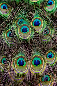 Feathers of male Indian Peafowl (Pavo cristatus) Germany.  -  Klein & Hubert