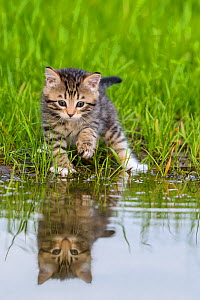 Kitten near a pond, France. - Klein & Hubert