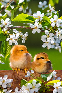 Two domestic hen chicks on fence with cherry blossoms in spring, France. - Klein & Hubert