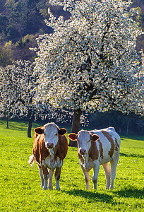 Two Simmental cows with flowering  cherry tree in spring, France. - Klein & Hubert