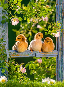 Three domestic hen chicks perched on an old wooden frame surrounded by dog roses - Klein & Hubert