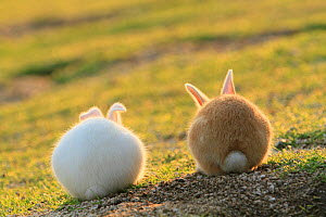 Feral domestic rabbit (Oryctolagus cuniculus) view from behind, Okunojima Island, also known as Rabbit Island, Hiroshima, Japan, May.  -  Yukihiro  Fukuda