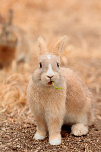 Feral domestic rabbit (Oryctolagus cuniculus) eating a leaf, Okunojima Island, also known as Rabbit Island, Hiroshima, Japan, January.  -  Yukihiro  Fukuda