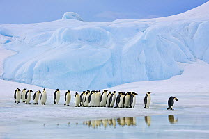 Group of Emperor penguins (Aptenodytes fosteri) walking on pack ice, hesitating to cross water, Antarctica. - Klein & Hubert
