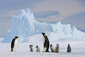 Emperor penguins (Aptenodytes fosteri) and chicks on pack ice, Antarctica  -  Klein & Hubert