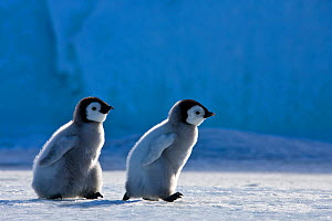 Two Emperor penguin (Aptenodytes fosteri) chicks walking on pack ice in front of blue iceberg, Antarctica. - Klein & Hubert