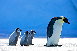 Three Emperor penguin (Aptenodytes fosteri) chicks following adult on pack ice in front of blue iceberg, Antarctica. - Klein & Hubert
