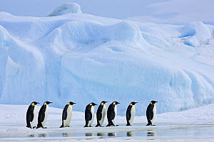 Group of Emperor penguins (Aptenodytes fosteri) group walking on pack ice, Antarctica. - Klein & Hubert