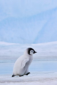 Emperor penguin (Aptenodytes fosteri) chick walking on pack ice, Antarctica.  -  Klein & Hubert