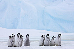 Group of Emperor penguin (Aptenodytes forsteri) chicks, Antarctica - Klein & Hubert
