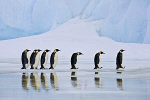 Group of Emperor penguin (Aptenodytes forsteri) in line on pack ice, reflected in water, Antarctica - Klein & Hubert