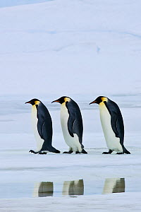 Three Emperor penguin (Aptenodytes forsteri) walking on pack ice, reflected in water, Antarctica - Klein & Hubert