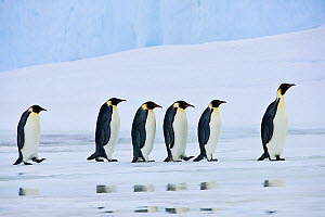 Group of Emperor penguin (Aptenodytes forsteri) walking on pack ice, reflected in water, Antarctica - Klein & Hubert