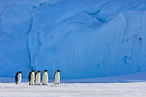Five Emperor penguin (Aptenodytes forsteri) walking on pack ice in front of blue iceberg, Antarctica - Klein & Hubert
