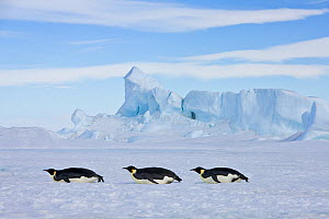 Three Emperor penguin (Aptenodytes forsteri) sliding on pack ice, Antarctica - Klein & Hubert