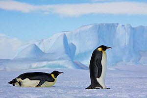 Two Emperor penguin (Aptenodytes forsteri) on pack ice, Antarctica  -  Klein & Hubert