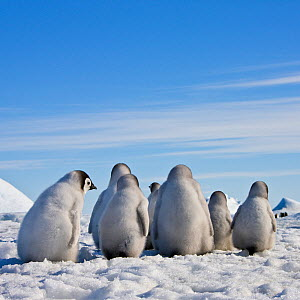 Group of Emperor penguin (Aptenodytes forsteri) chicks walking on ice, from behind, Antarctica - Klein & Hubert